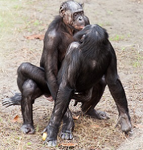 Bonobos Reproduction Facts Studycom