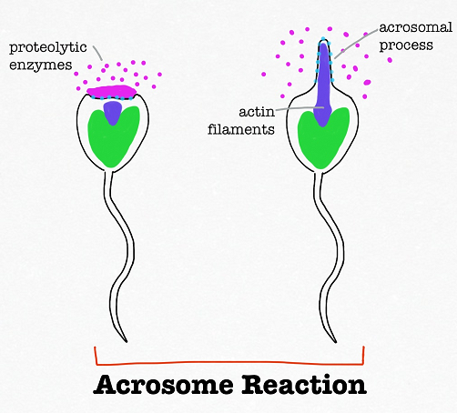 Opinion acrosome human sperm