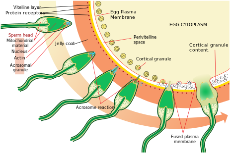 enzyme Sperm acrosomal marker