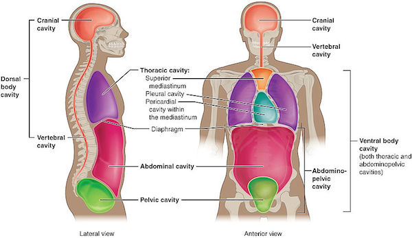 Thorax Definition And Anatomy Study