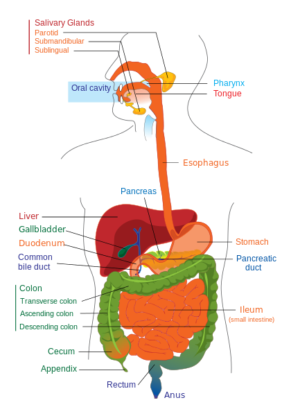 What is Digestion? - Definition & Process - Video & Lesson..