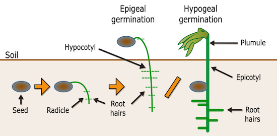 diagramepigealhypogealgermination.png