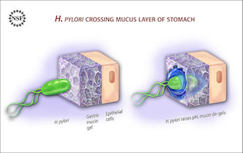 H. pylori imbeds in the gastric lining