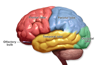 Research Paper Chapter Parts Of The Brain - image 2