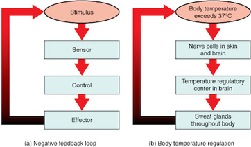 What is negative feedback in biology definition examples as you can see the body exceeds a certain temperature this is detected by nerve cells that report back to the part of the brain that regulates temperature ccuart Choice Image