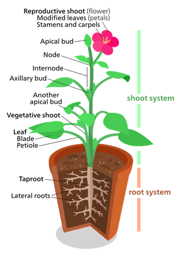 Plant shoot system structure function video lesson plant shoot system ccuart