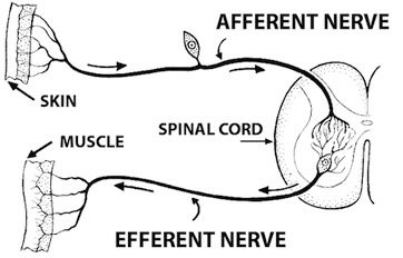 Somatic nervous system definition function example video reflex arc diagram ccuart Gallery