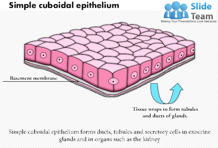 simple cuboidal epithelium location, structure \u0026 function video Stratified Cuboidal Cartoon structure of simple cuboidal epithelium