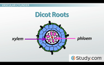 Star-shaped dicot root xylem and phloem