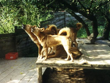 Captive Dingoes Howling