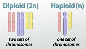Diploid vs Haploid