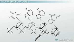 DNA Backbone