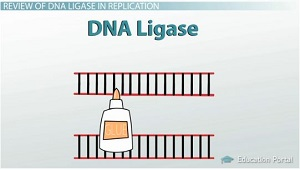 DNA Ligase