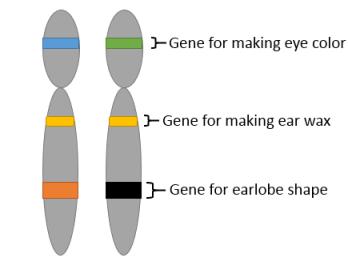 Dominant & Recessive Genes: Lesson for Kids | Study.com