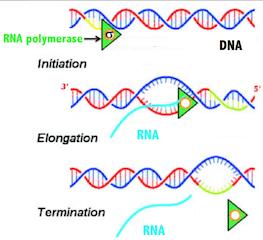 DNA Transcription Lesson for Kids: Definition & Steps ...