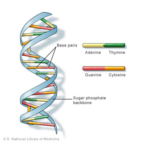 dna depicted as ribbons