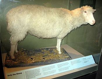 A photograph of Dolly the Sheep taxidermy remains.