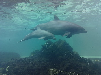 a dolphin calf swims with its mother
