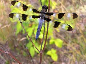 Dragonfly Facts: Lesson for Kids | Study.com