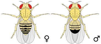 Do Fruit Flies Carry Disease?   Study com