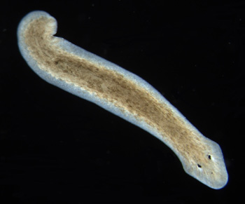 Reproduction of Planaria Worms - Video & Lesson Transcript
