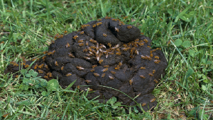 Picture of dung flies feeding on feces