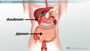 what is the small intestine anatomy and functions video  : duodenum diagram - findchart.co