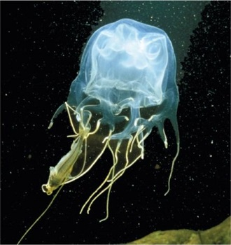 Box Jellyfish: Anatomy, Movement & Adaptations | Study.com