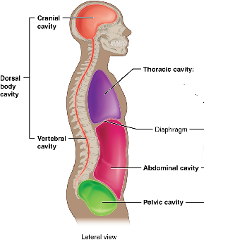 Dorsal Body Cavity Definition Organs Membranes Study