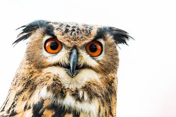 owl essay for kids
