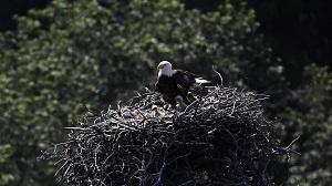 Bald Eagle Catching Fish Homer Alaska Usa Stock Photo Rights Managed