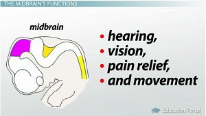 Early Brain Development: Major Parts & Functions - Video