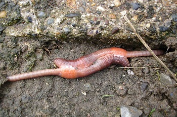 earthworms mating