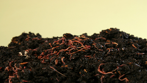Picture of earthworms