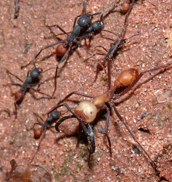 Soldier and worker army ants