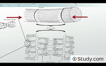 sarcomere is end to end