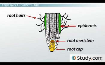 Label of epidermis and root hairs