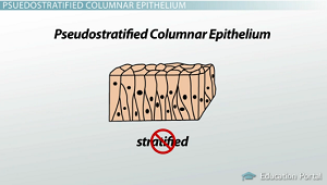 Non-stratified epithelium