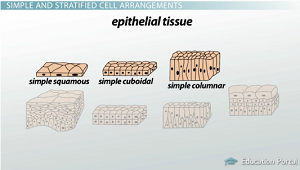 epithelial tissue structure Epithelial tissue, or epithelium, has the following general characteristics.