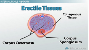 Male reproductive system external anatomy video lesson erectile tissue diagram ccuart Choice Image