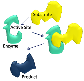 Enzymes use substrates to make products