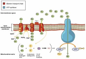 Cellular respiration in mitochondria study electron transport chain ccuart Choice Image