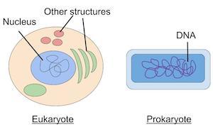eukaryotic cell division study com