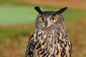 The quest to save endangered owls at the heart of *Hoot*, a Carl Hiaasen book that ADHD children will love.