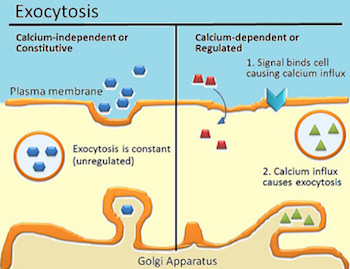 Exocytosis: Definition & Examples - Video & Lesson ...