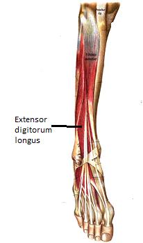 extensor digitorum longus muscle function innervation study com
