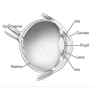 Optic nerve definition function study optic nerve eyeball diagram ccuart Choice Image