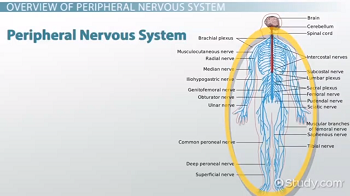 Peripheral Nervous System: Definition, Function & Parts ... | 350 x 196 png 73kB