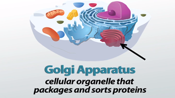what is the function of the golgi complex