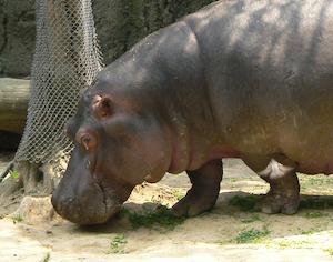 face_hippopotamus_amphibius_mexico.jpg